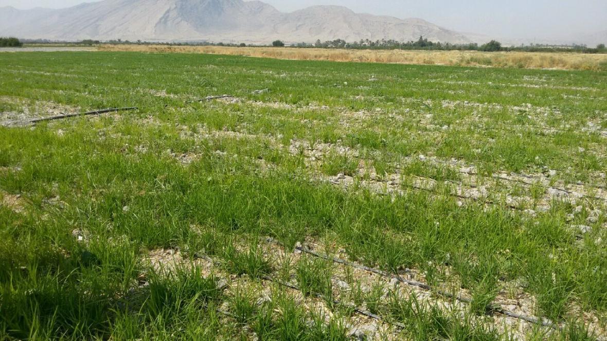 خبرنگاران برنج به روش خشکه کاری برای اولین بار در کازرون کشت شد